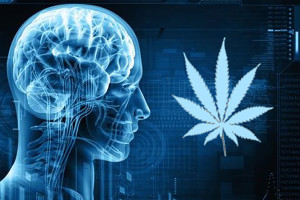 brain-study on marijuana